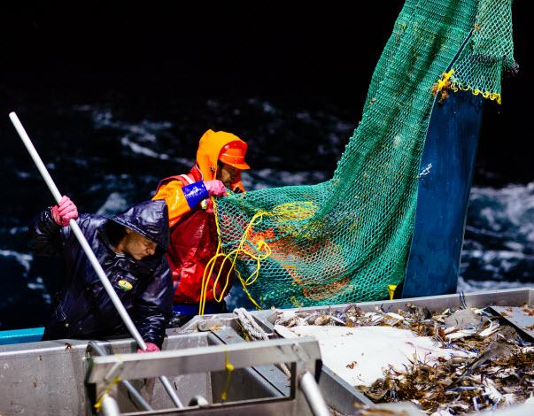 Men freshly harvested prawns