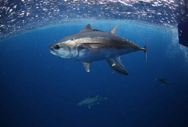 Free swimming southern bluefin tuna