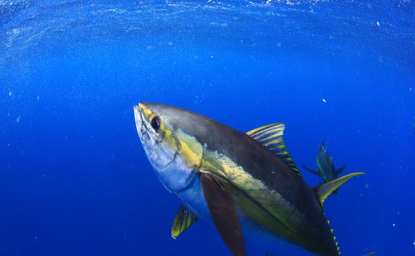 Yellowfin Tuna swimming in the blue crystal clear ocean