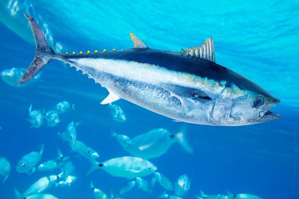 Bluefin Tuna swimming under a clear salt water