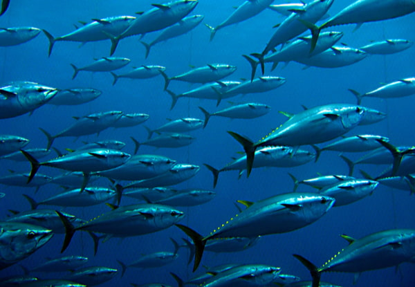 Group of giant tuna under the sea